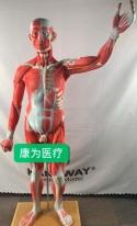 """""""康为医疗""""人体全身肌肉附内脏模型(正常尺寸) 全身肌肉解剖附内脏器官模型"""