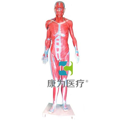 """""""康为医疗""""全身肌肉解剖模型(自然大)"""