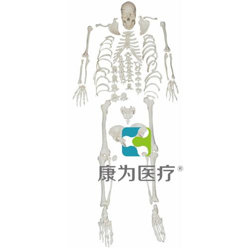 """""""康为医疗""""人体全身散骨模型"""