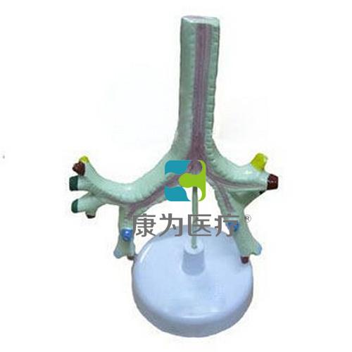 """""""康为医疗""""气管、支气管及肺段支气管模型"""