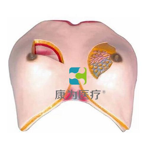 """""""康为医疗""""乳房解剖模型"""