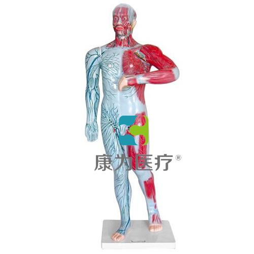 """""""康为医疗""""人体浅层淋巴和浅静脉模型"""