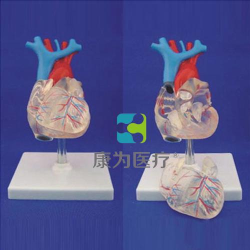 """""""康为医疗""""自然大透明心脏模型"""