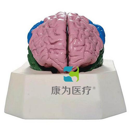 """""""康为医疗""""大脑分叶模型"""