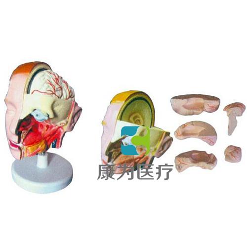 """""""康为医疗""""头解剖附脑模型(6部件)"""