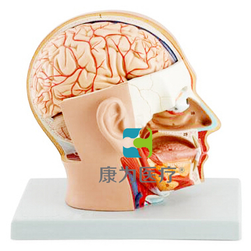 """""""康为医疗""""头部解剖模型,自然大,4部件"""
