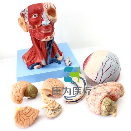 """""""康为医疗""""头颈部肌肉、血管附脑模型"""