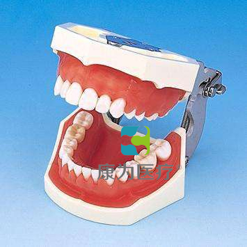 """""""康为医疗""""标准牙颌模型"""