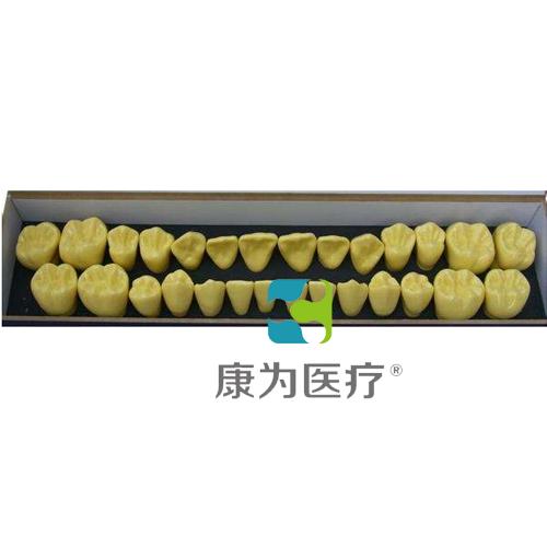 """""""康为医疗""""单色恒牙模型(放大4倍)"""