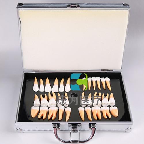 """""""康为医疗""""2.5倍解剖和雕刻用双色立体牙"""