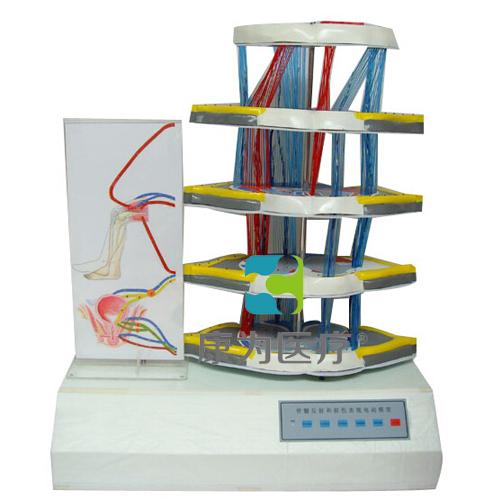 """""""康为医疗""""脊髓反射和损伤表现电动模型"""