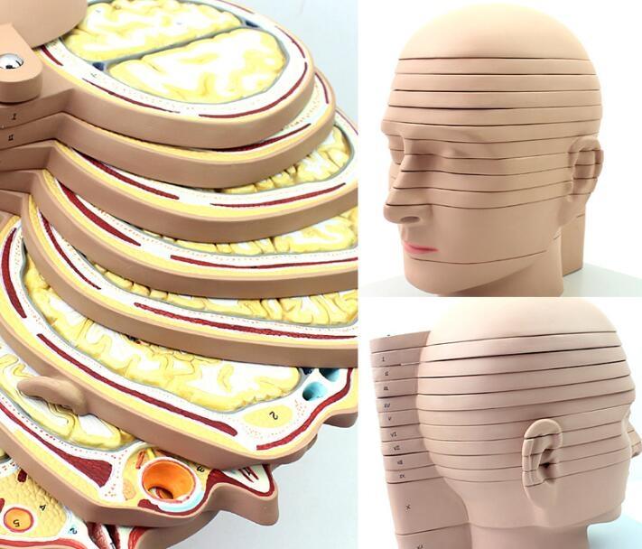 """""""康为医疗""""头颈部切面附脑模型"""