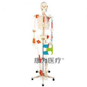 """""""康为医疗""""人体骨骼附关节韧带和肌肉着色模型"""