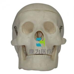 """""""康为医疗""""小型头颅骨模型"""