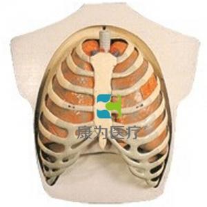 """""""康为医疗""""呼吸系统模型"""