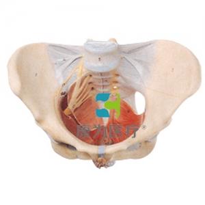 """""""康为医疗""""女性骨盆附盆底肌和神经模型"""