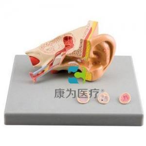 """""""康为医疗""""耳病理模型"""