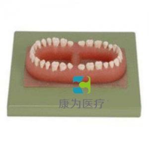 """""""康为医疗""""成人牙模型总汇(32颗牙)"""