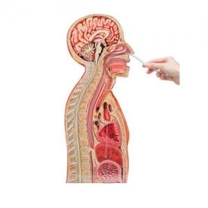 德国3B Scientific®鼻-胃插管模型