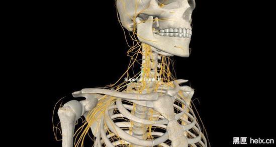 医用人体解剖模型
